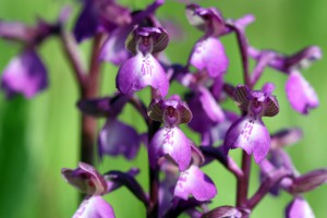 green-winged_orchid